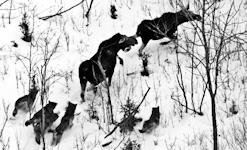 Wolves attacking moose.