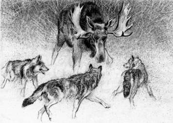 Bull Moose Fighting Wolves