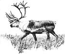 Barrenland Caribou.